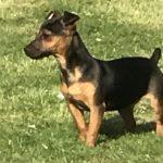 Black Tan Jack Russell Terrier