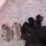 Tan & Black Jack Russell Puppies for Sale